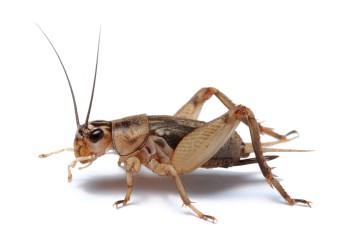 Cricket isolated